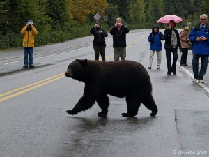 Guard bear threatens pedestrians. [Image by Gillfoto, CC BY-NC-SA 2.0]